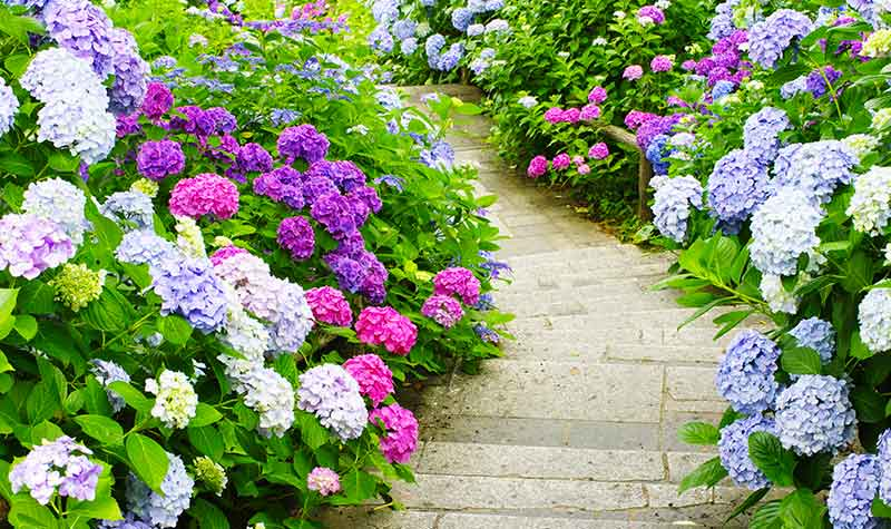 Hydrangeas, Taking Away the Confusion